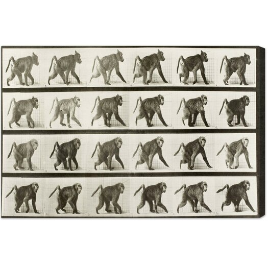 Baboon in Motion Photographic Print on Canvas