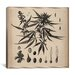 iCanvasArt Male Cannabis Sativa Scientific Drawing Canvas Wall Art