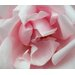 "Pink Petals Printed Canvas Art - 28"" X 24"""