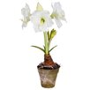 Winward Designs Amaryllis in Pot