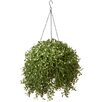<strong>National Tree Co.</strong> Argentia Hanging Plant in Basket