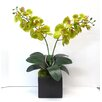 Tree Masters Inc. Phalaenopsis Orchid