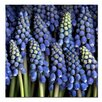 "Trademark Fine Art ""Grape Hyacinth"" by Aiana Photographic Print on Canvas"
