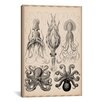 iCanvas Cephalopod (Gamochonia) Graphic Art on Canvas