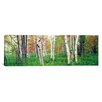 iCanvas Panoramic Birch Frees in a Forest, Acadia National Park, Maine Photographic Print on Canvas