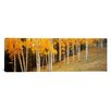 iCanvasArt Panoramic Aspen Trees in a Field, Colorado, USA Photographic Print on Canvas