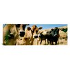 iCanvasArt Panoramic Close Up of Cows, California Photographic Print on Canvas