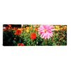 <strong>iCanvasArt</strong> Panoramic 'Dahlia flowers, Stuttgart, Baden-Wurttemberg, Germany' Photographic Print on Canvas