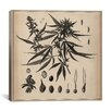 iCanvas Male Cannabis Sativa Scientific Drawing Canvas Wall Art