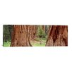 iCanvas Panoramic Sapling among Full Grown Sequoias, Sequoia National Park, California Photographic Print on Canvas