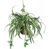 Silk Spider Plant with Hanging Basket in Green