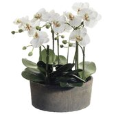 19&quot; Phalaenopsis Orchid Plant in Clay Pot