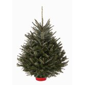 "30-36"" Live Fraser Fir ""Grade A"" Table Top Tree With Pre-attached Tree Stand"
