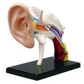 4D-Vision Human Ear Anatomy Model