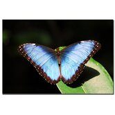 "Blue Morpho by Kurt Shaffer, Canvas Art - 16"" x 24"""