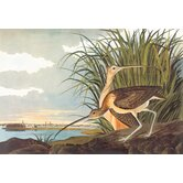 Long Billed Curlew Canvas Art