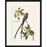 Fork-Tailed Flycatcher by John James Audubon Framed Graphic Art