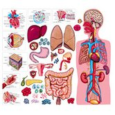 The Human Body &amp; Anatomy