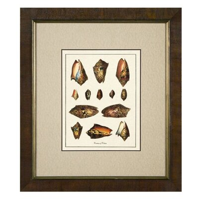 <strong>Phoenix Galleries</strong> Varieties of Volute Framed Print