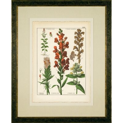 Phoenix Galleries Antirrhnium Framed Print