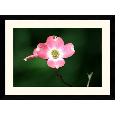 Pink Dogwood Blossom by Andy Magee Framed Fine Art Print - 28.62