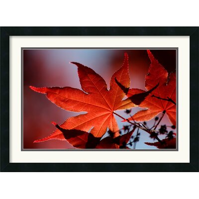 Red Maple Framed Print by Andy Magee
