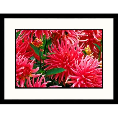 Great American Picture Dahlias Framed Photograph