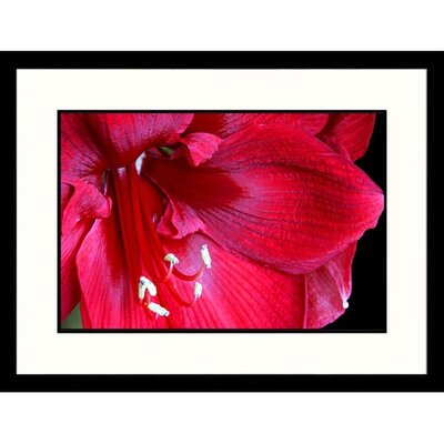 Great American Picture Amaryllis Framed Photograph