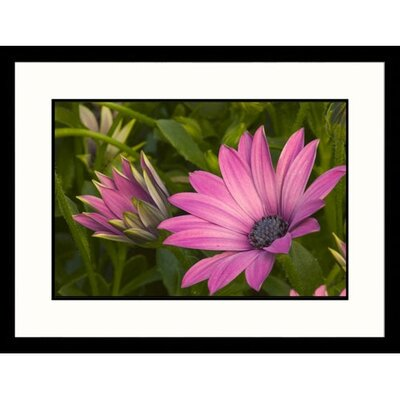 Great American Picture Purple Daisy Framed Photograph