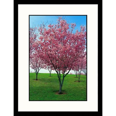 Great American Picture Cherry Blossoms, Lake Balboa Framed Photograph - Claire Rydell