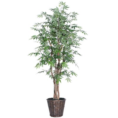 Vickerman Co. Blue Ridge Fir Executive Japanese Maple Tree