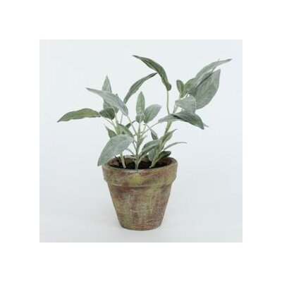 Sage & Co. Potted Sage Plant
