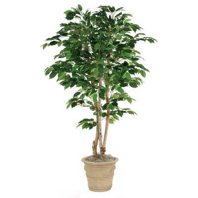 Green Ficus Tree in Planter