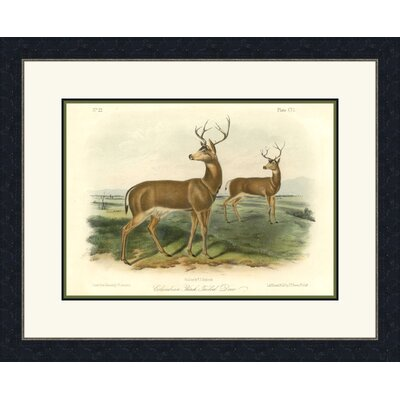 Columbian Black Tailed Deer Wall Art