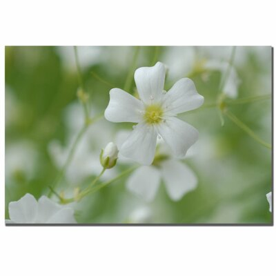 "Trademark Fine Art Baby's Breath by Kurt Shaffer, Canvas Art - 16"" x 24"""