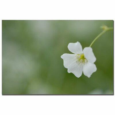 Trademark Art Baby's Breath II by Kurt Shaffer, Canvas Art - 16