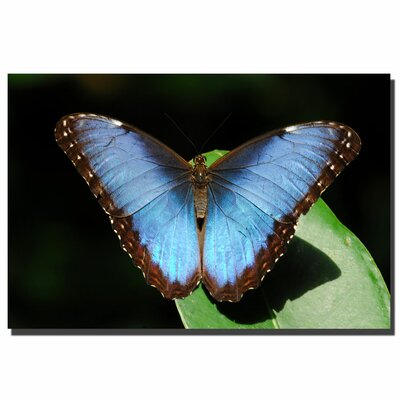 "Trademark Fine Art Blue Morpho Butterfly by Kurt Shaffer, Canvas Art - 24"" x 36"""