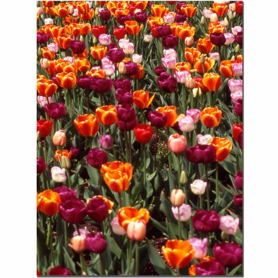 "Trademark Fine Art Multi-Colored Tulips by Kurt Shaffer, Canvas Art - 32"" x 24"""