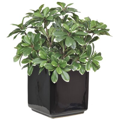 Artificial Mini Variegated Pittosporum Cube Vase