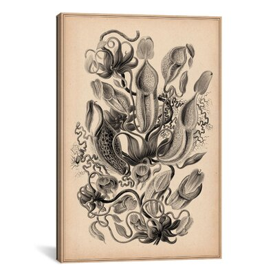 iCanvasArt 'Nepenthaceae' by Ernest Haeckel Graphic Art on Canvas