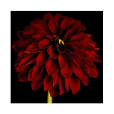 Graham & Brown Black and Red Dahlia Canvas