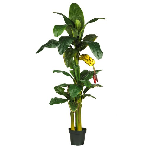 Triple Stalk Banana Tree in Pot