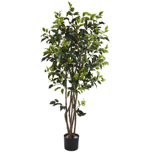 Ficus Bushy Tree in Pot