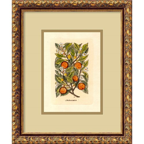 Orange (Malus Arantia) Framed Painting Print