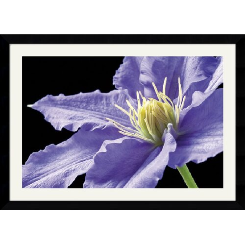 Amanti Art 'Purple Clematis' by Amalia Veralli Framed Photographic Print