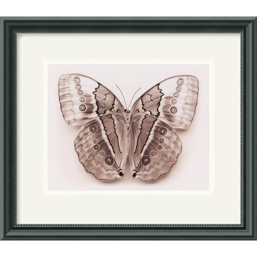 'Stichopthalma Louisa' by Raquel Edwards Framed Photographic Print