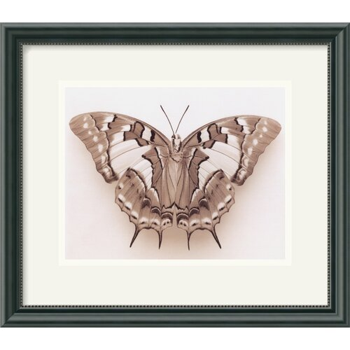 'Polyura Pyrrhus - Dorsal View' by Raquel Edwards Framed Photographic Print