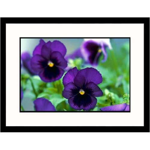 Florals Purple Pansies Framed Photographic Print