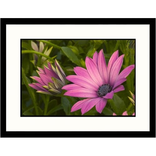 Great American Picture Florals Purple Daisy Framed Photographic Print