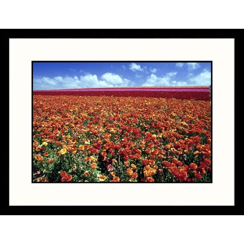 Landscapes 'Flower Fields Carlsbad, Califronia' by Mitch Diamond Framed Photographic Print
